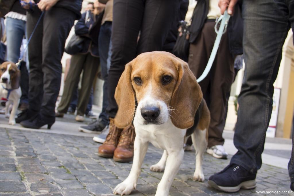 cirinn-beagle-provincia-roma64-1024x683