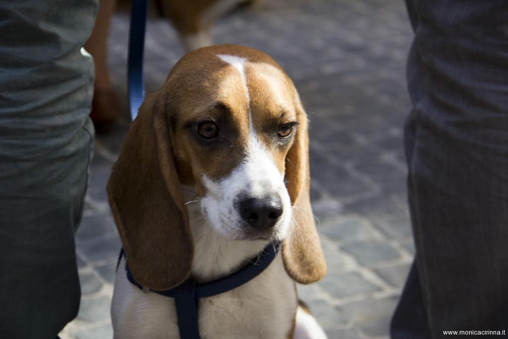 cirinn-beagle-provincia-roma68-1024x683