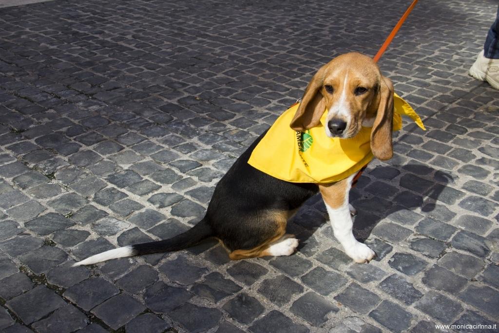 cirinn-beagle-provincia-roma75-1024x683