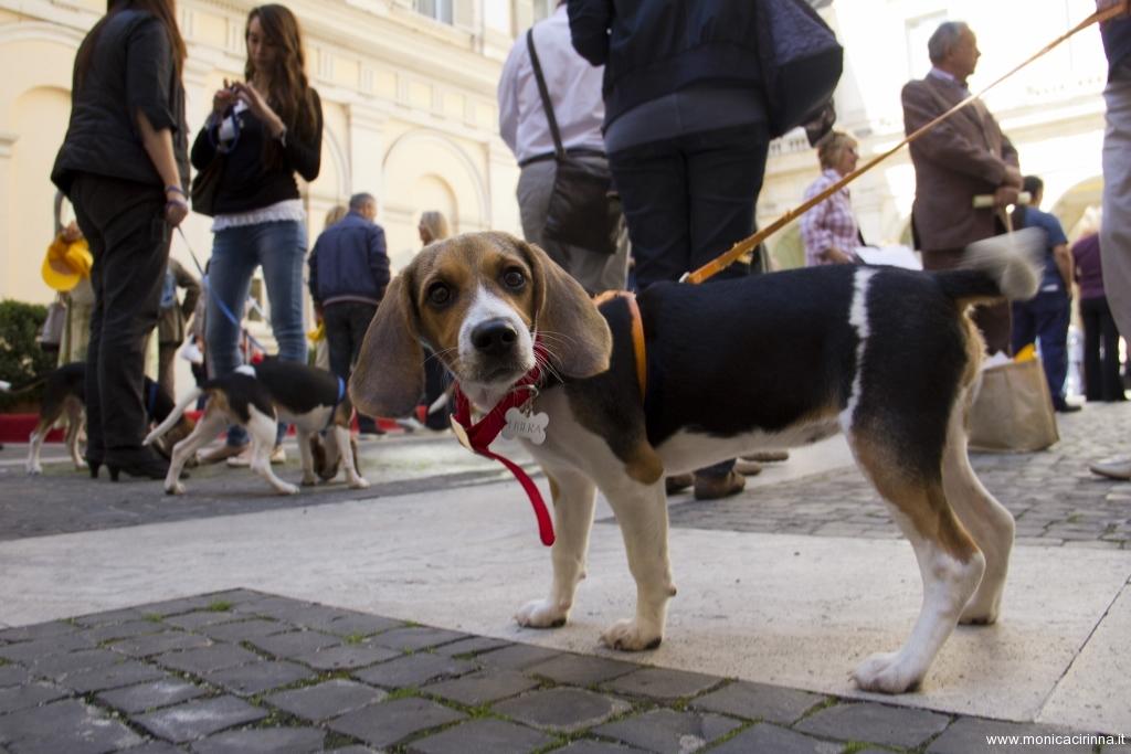 cirinn-beagle-provincia-roma95-1024x683