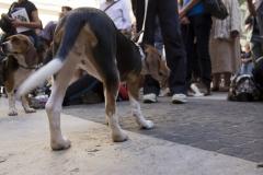 cirinn-beagle-provincia-roma60-1024x683