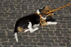 cirinn-beagle-provincia-roma84-1024x683