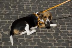cirinn-beagle-provincia-roma85-1024x683