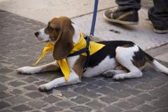 cirinn-beagle-provincia-roma98-1024x683