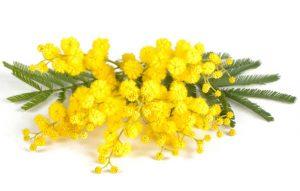 pianta-mimosa-4